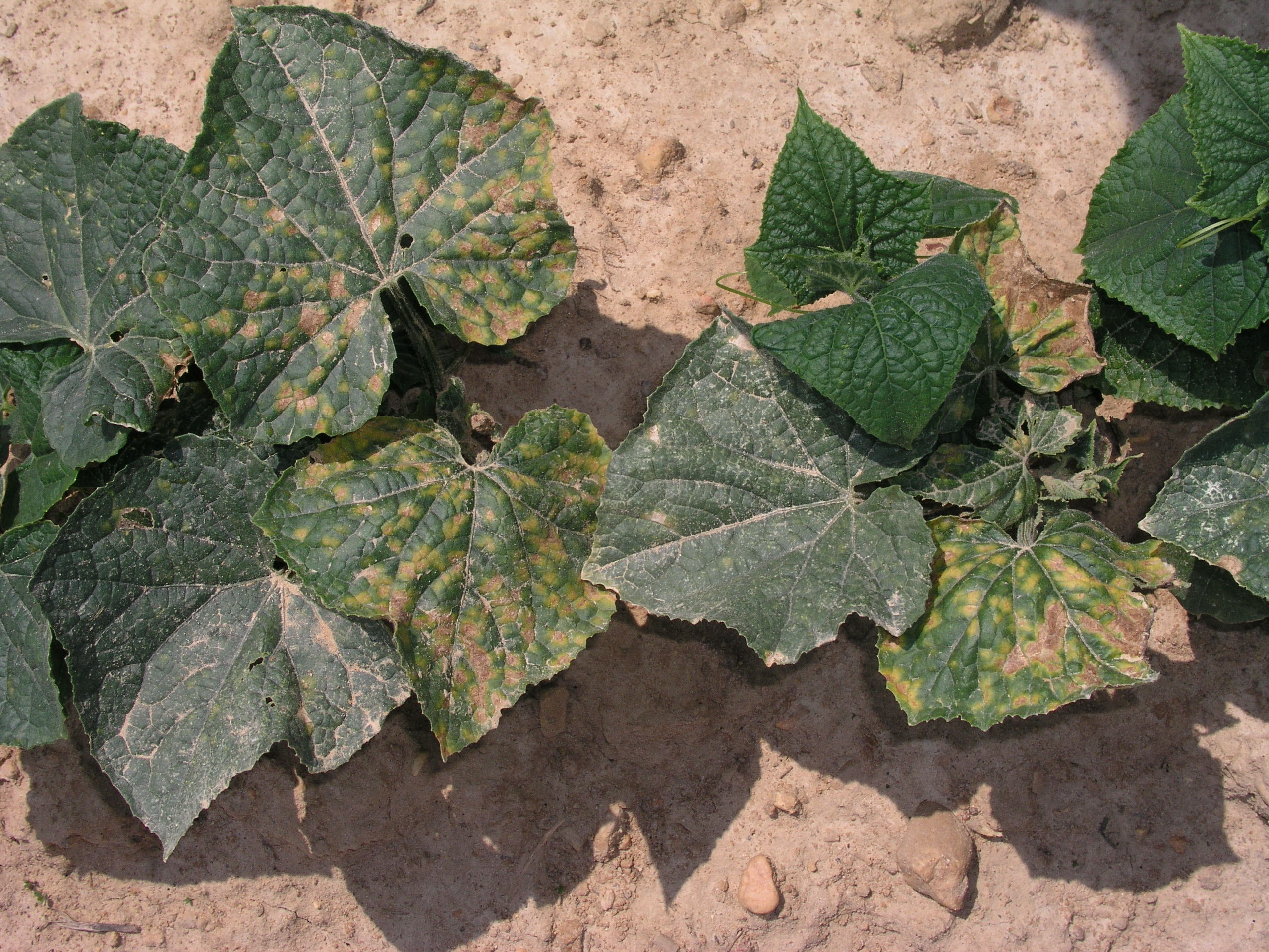Downy Mildew in Cucumbers