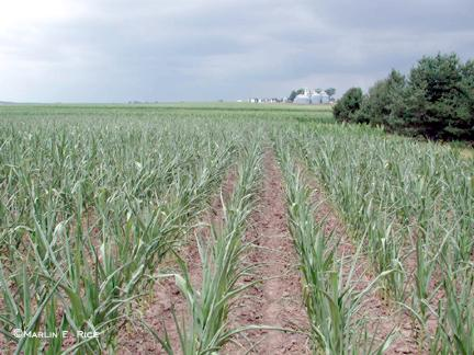 Severe Drought Stress in Corn