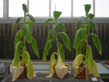 Drought Stress in Tobacco