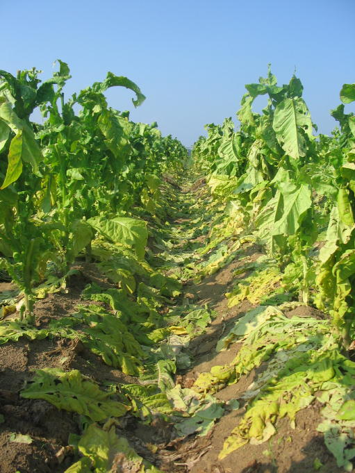 Hail damage to a tobacco field