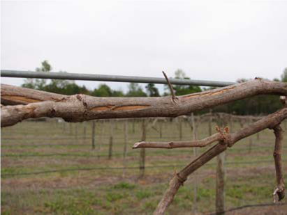 Muscadine grape vine damaged by freeze