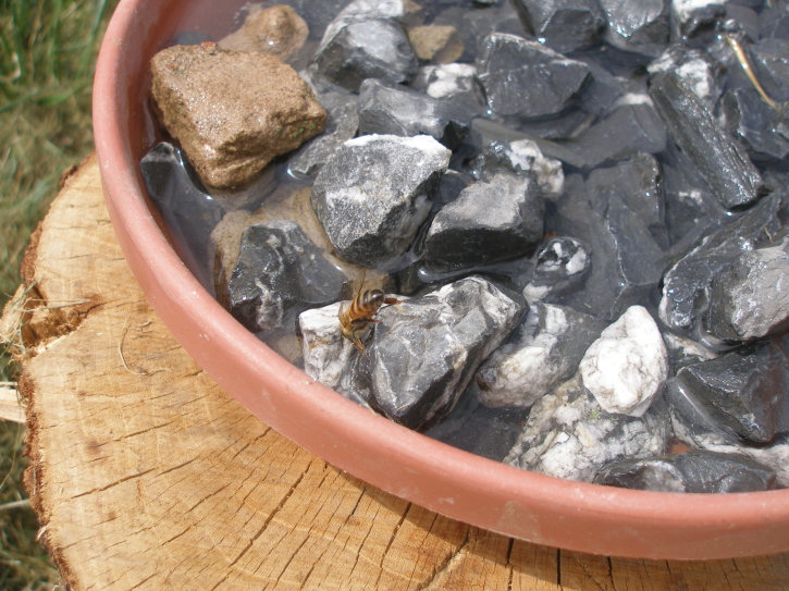A bowl of water containing small rocks with a bee perched on them while drinking