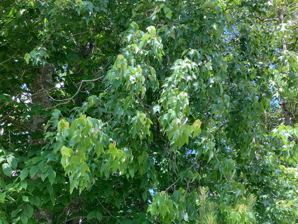 Wilting leaves on a maple tree in Onslow County